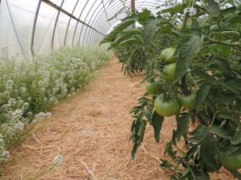 Tomatoes growing inside a nicely lit greenhouse.